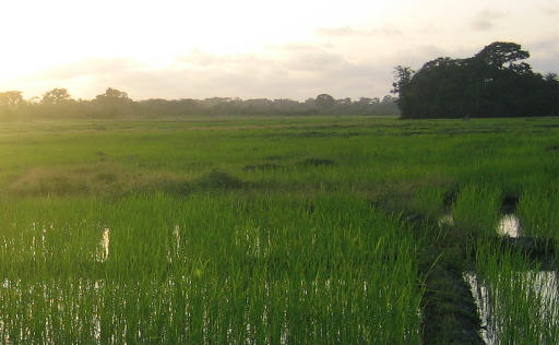 Paddy Field in Paraguay